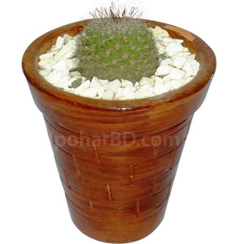Live Cactus in clay pot