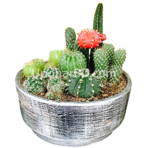 Mix cactus pot by BRAC Nursery