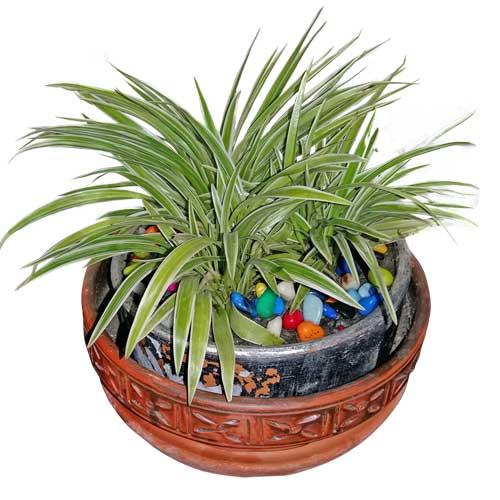 Spider Plant in Terracotta Pot