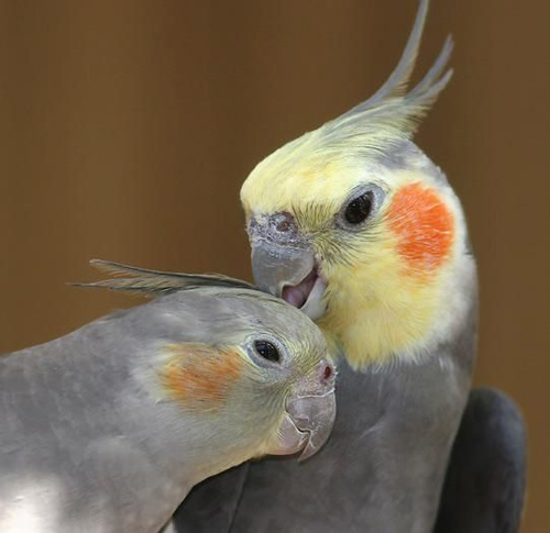 Pair of Cockatiel gray bird with cage
