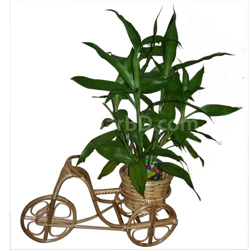 Live Plant in a Cane Rickshaw