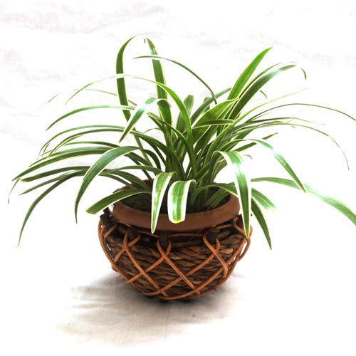 Spider plant in a cane pot