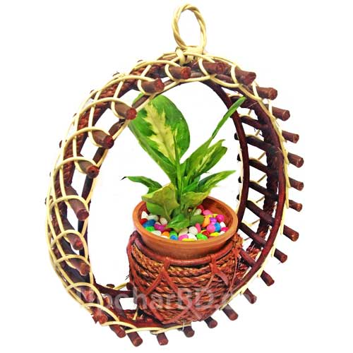 Hanging Garden Croton in a cane pot