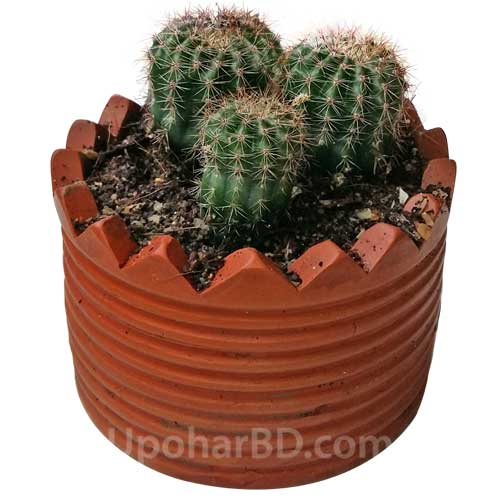 Multiple Cactus in clay pot