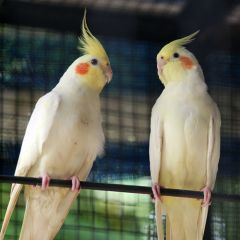 Pair of Lutino Cockatiel bird with cage