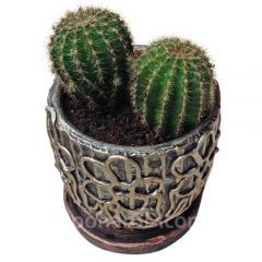Ferocactus in clay pot
