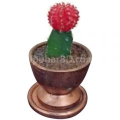 Moon cactus in clay pot
