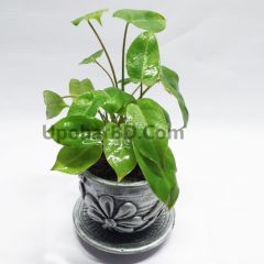 Rubber plant in a pot