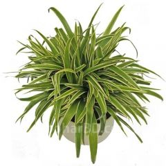 Spider Plant in Ceramic Pot